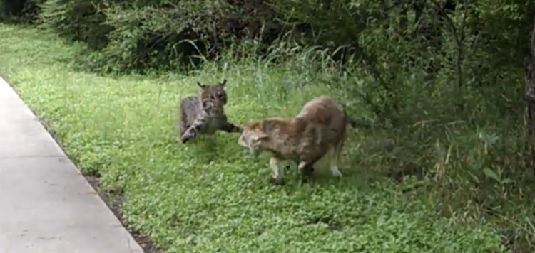 Crazy Bobcat Faces Off With Coyote in City Park [VIDEO] – Patriot Caller