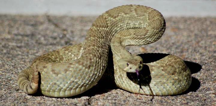 Mojave-Rattlesnaker