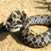 Will A Bite From This Snake Kill You?